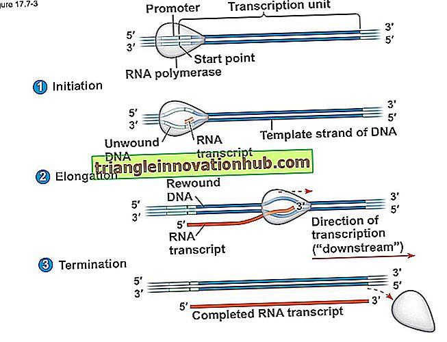 Trascrizione del DNA: processo e meccanismo di trascrizione del DNA - dna
